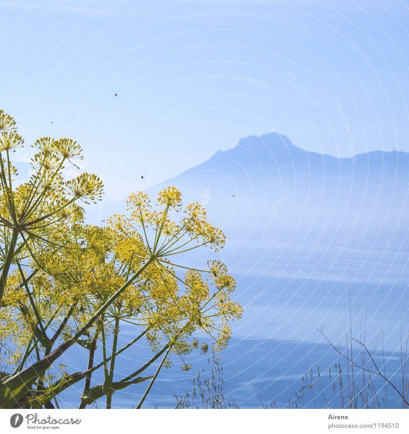 umschwärmt Landschaft Wasser Himmel Wolkenloser Himmel Gras Blüte Wildpflanze wilder fenchel Fenchel Berge u. Gebirge Gipfel Meer Mittelmeer Tier Fliege Biene
