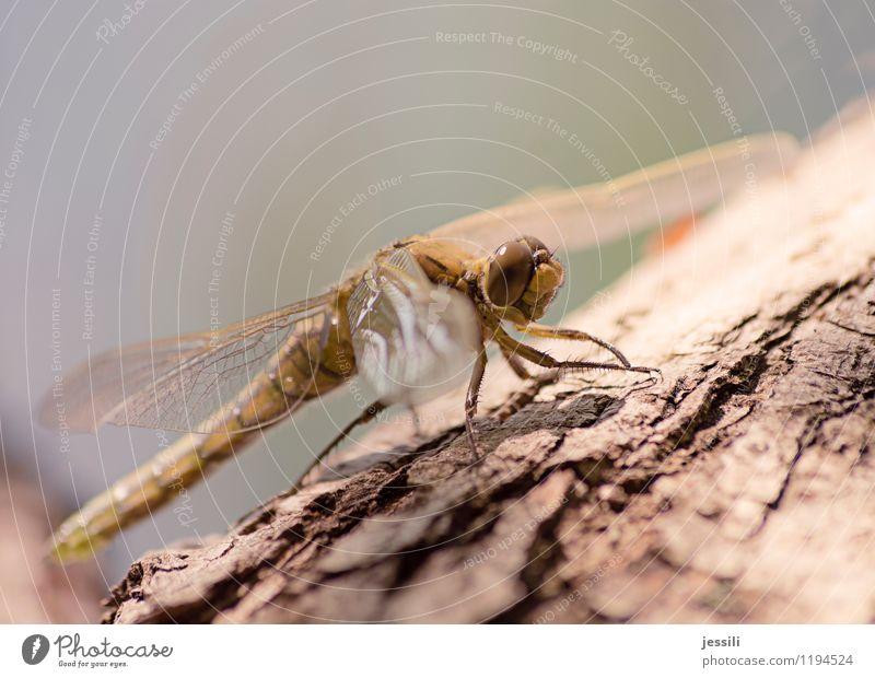 Yay! Tier Frühling Baum See Tiergesicht 1 beobachten entdecken Erfolg frech Freundlichkeit Orthetrum cancellatum Segellibelle Groß Libelle Tag Sonnenlicht