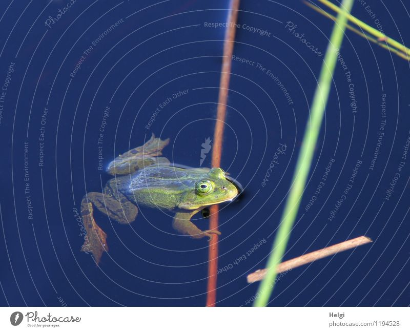 quak... Natur blau grün Wasser ruhig Tier Umwelt Leben Frühling natürlich Schwimmen & Baden braun Zufriedenheit Idylle Wildtier warten
