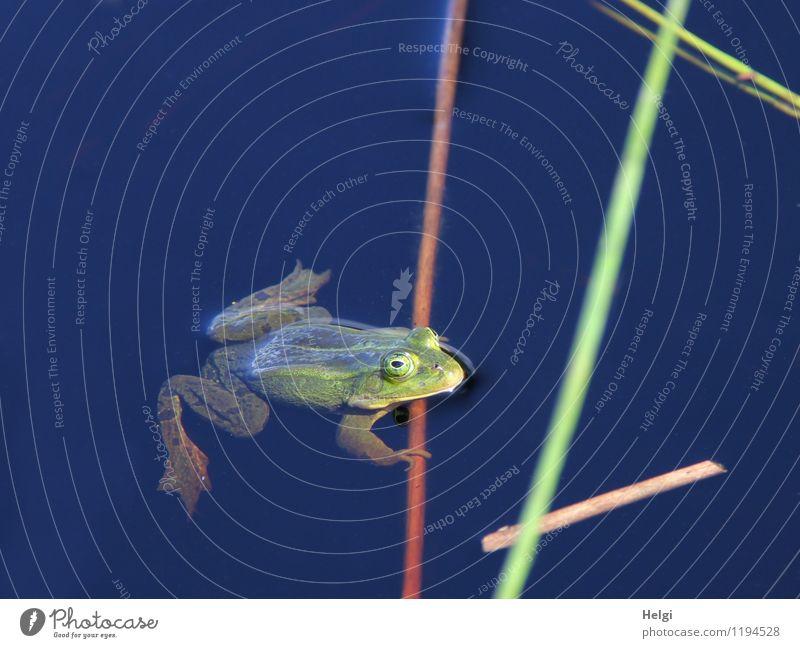 quak... Umwelt Natur Tier Wasser Frühling Schönes Wetter Moor Sumpf Wildtier Frosch 1 beobachten Blick Schwimmen & Baden warten einzigartig Krankheit nass