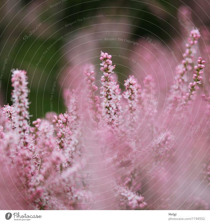 rosa Blüten... Umwelt Natur Pflanze Frühling Sträucher Rispenblüte Park Blühend Wachstum ästhetisch schön klein natürlich grau einzigartig Leben Farbfoto