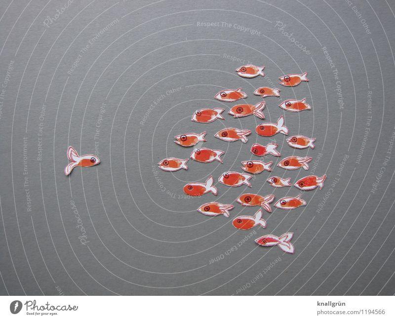 Einzelgänger Tier Fisch Tiergruppe Schwarm beobachten Blick Zusammensein grau orange weiß Gefühle Stimmung selbstbewußt Kommunizieren Goldfisch gegenüber