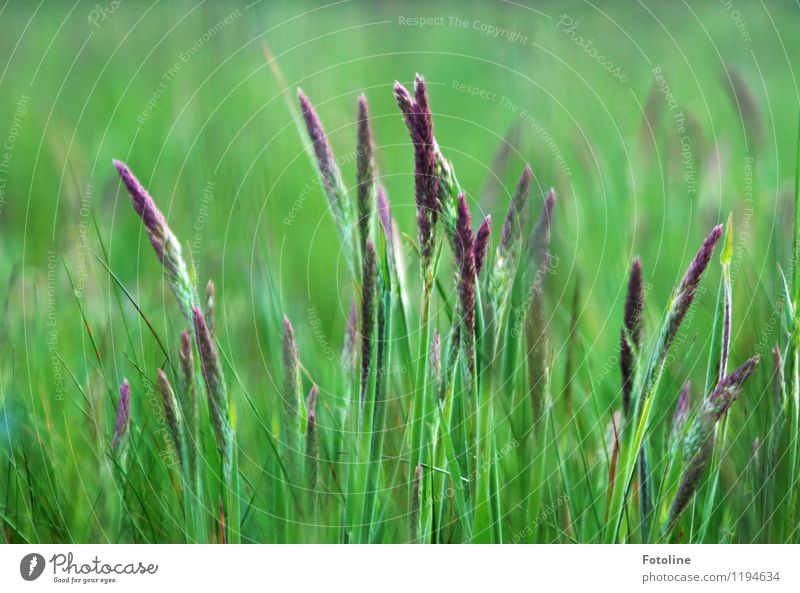 Gräser Natur Pflanze grün Sommer Umwelt natürlich Wiese Gras hell Schönes Wetter violett nah