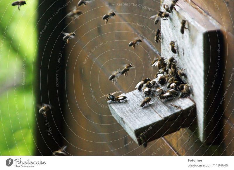 Ssssssssssummmmmmm! Natur Tier Umwelt natürlich klein Fliege frei Schönes Wetter nah Insekt Biene Schwarm Nutztier fleißig Bienenstock