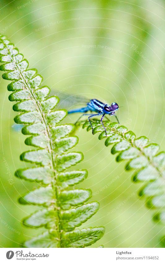 Ums Eck Tiergesicht Flügel Libelle 1 blau grün Libellenflügel Farn Insekt Landraubtier Farbfoto Außenaufnahme Textfreiraum oben Blick in die Kamera
