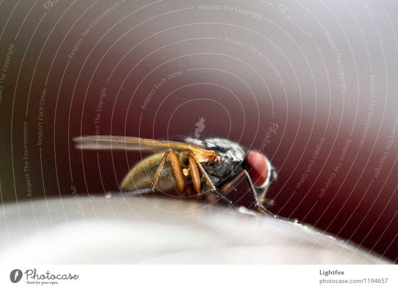 Fly Robin fly Tier Fliege 1 Freude Begierde Lust Sex fliegen Zoomeffekt Facettenauge Fressen warten Farbfoto Innenaufnahme