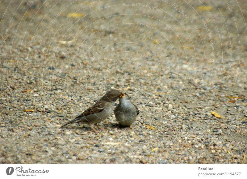 Guten Hunger! Umwelt Natur Tier Urelemente Erde Sand Vogel 2 Tierjunges klein nah natürlich Spatz füttern Küken Farbfoto mehrfarbig Außenaufnahme Nahaufnahme