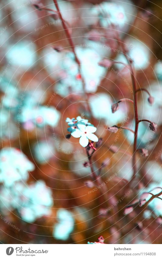 verträumt Natur Pflanze Frühling Sommer Schönes Wetter Blume Blatt Blüte Vergißmeinnicht Stengel Blütenknospen Garten Park Wiese Blühend Duft verblüht Wachstum