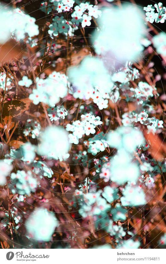 mäuseohr... Natur Pflanze Frühling Sommer Herbst Schönes Wetter Blume Gras Blatt Blüte Vergißmeinnicht Garten Park Wiese Feld Blühend verblüht Wachstum schön