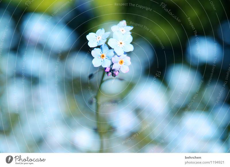 eis(blaues)blümchen Natur Pflanze Frühling Sommer Schönes Wetter Blume Gras Blatt Blüte Wildpflanze Vergißmeinnicht Garten Park Wiese Blühend Duft verblüht
