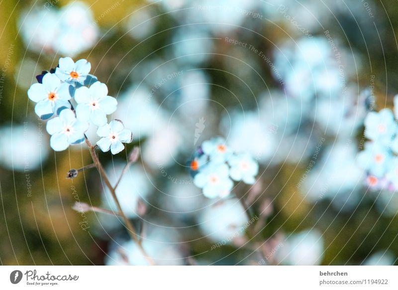 just like heaven... Natur Pflanze Frühling Sommer Schönes Wetter Blume Gras Blatt Blüte Wildpflanze Vergißmeinnicht Garten Park Wiese Blühend verblüht Wachstum