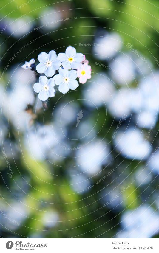 kriegsenkel | man sollte nie vergessen! Natur Pflanze Frühling Sommer Schönes Wetter Blume Gras Blatt Blüte Vergißmeinnicht Garten Park Wiese Blühend Duft