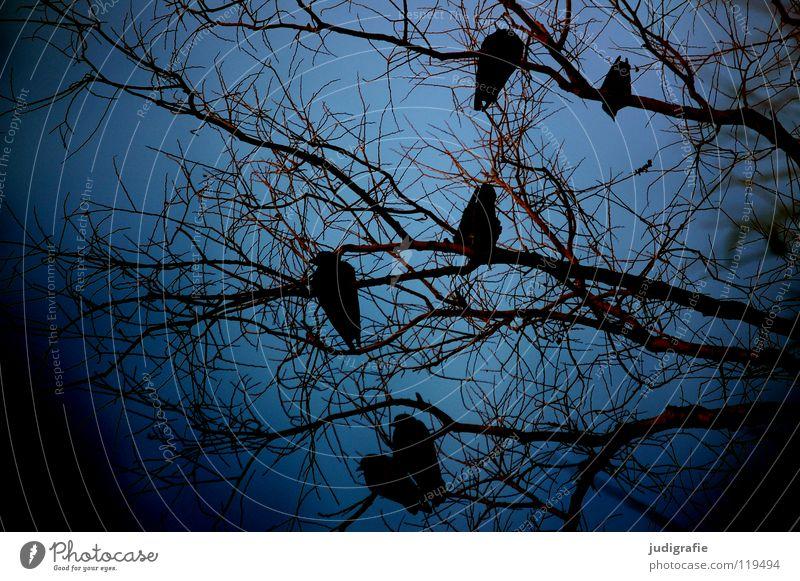 Winterblau Baum Krähe Saatkrähe Baumkrone Vogel Umwelt kalt 6 dunkel Farbe Himmel Ast Zweig sitzen warten Natur Außenaufnahme