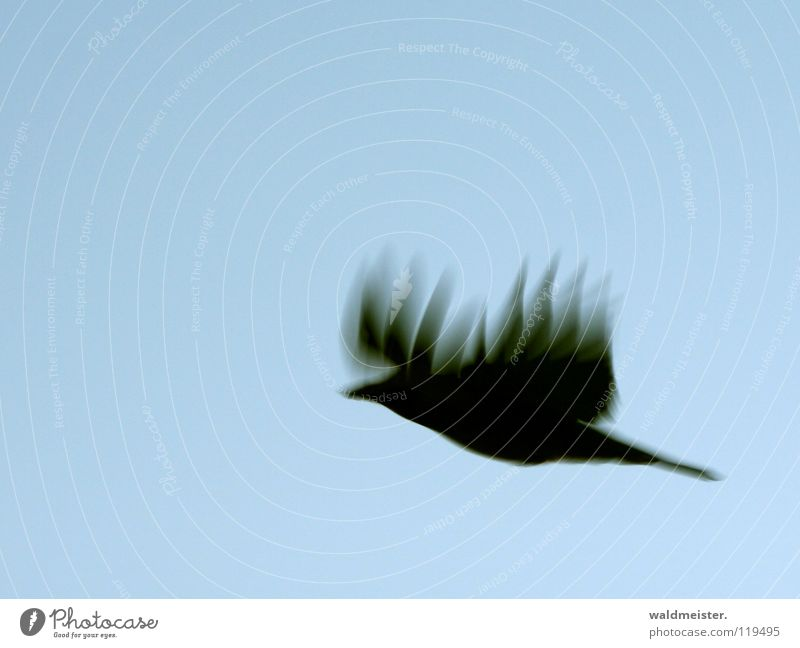 Feuerkrähe Vogel fliegen Luftverkehr Flügel Rabenvögel Krähe Tier