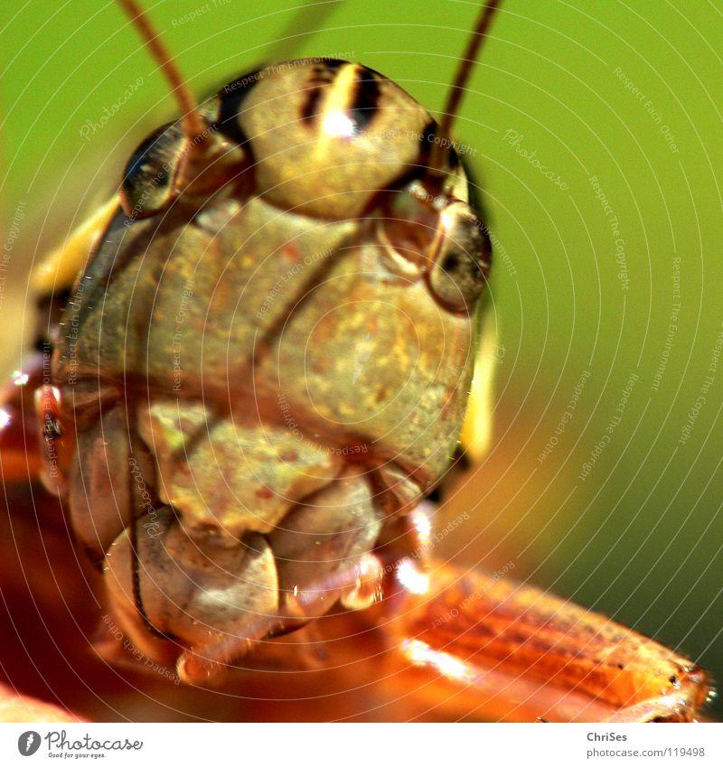 Gewöhnliche Gebirgsschrecke_02 Heuschrecke Heimchen grün braun springen Fühler Sommer Insekt Tier Lebewesen Nordwalde Makroaufnahme Nahaufnahme Knarrschrecken