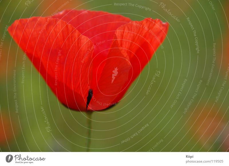 Rot I Natur schön Blume rot Sommer Frühling elegant Mohn Mai