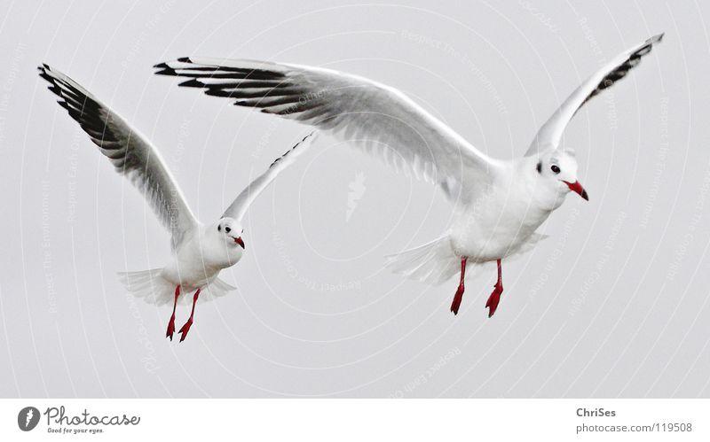 in Reihe ohne Glied : Silberkopfmöwen ( Larus novaehollandia ) Himmel weiß Meer Tier Wolken schwarz Herbst grau See Fuß Vogel fliegen Nordsee Möwe Schnabel