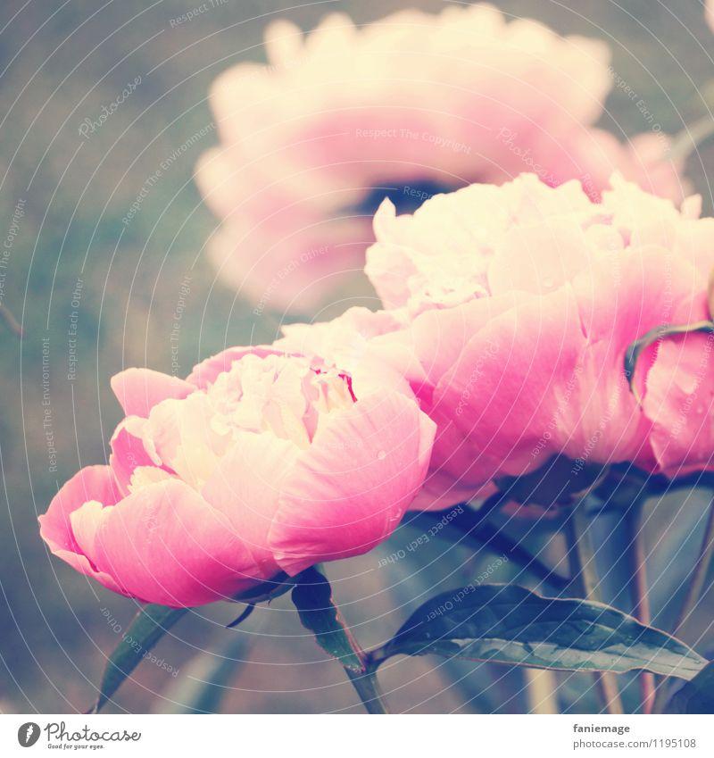 pivoine Natur Pflanze schön grün Sommer weiß Blume Blatt Frühling Blüte Garten rosa Regen frisch Blühend weich