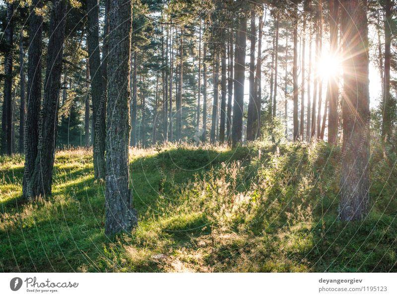 Sonnenstrahlen im Wald schön Sommer Umwelt Natur Landschaft Nebel Baum Blatt hell grün Buchsbaum laubabwerfend Hintergrund Licht Beautyfotografie durch ruhig
