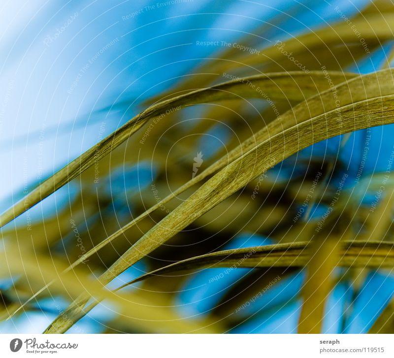 Gräser Schilfrohr Röhricht Biotop Binsen Blühend Blüte Gras Halm Pflanze Natur wedel Umwelt Riedgras Süßgras spirre Hintergrundbild abstrakt Strukturen & Formen