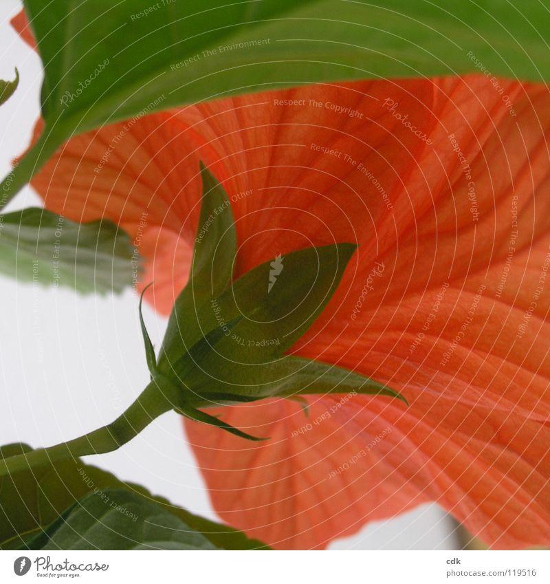 Hibiskus im Quadrat II Hibiscus Pflanze Zimmerpflanze Blume Blüte Blühend Wachstum gedeihen Blütenblatt Stengel rot grün mehrere Jahreszeiten Frühling Sommer
