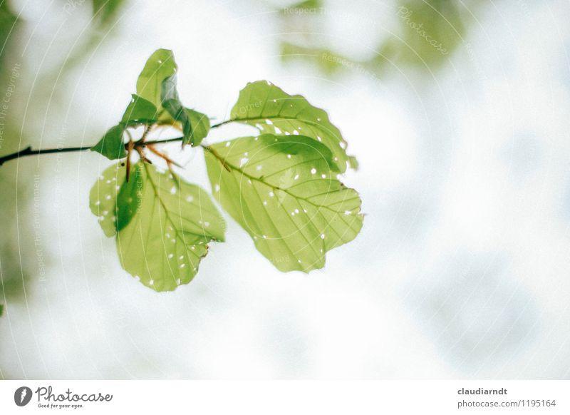 Blattwerk Umwelt Natur Pflanze Frühling Schönes Wetter Baum Buche Buchenblatt Wald Wachstum neu grün Loch angefressen Schädlinge Zweige u. Äste Farbfoto
