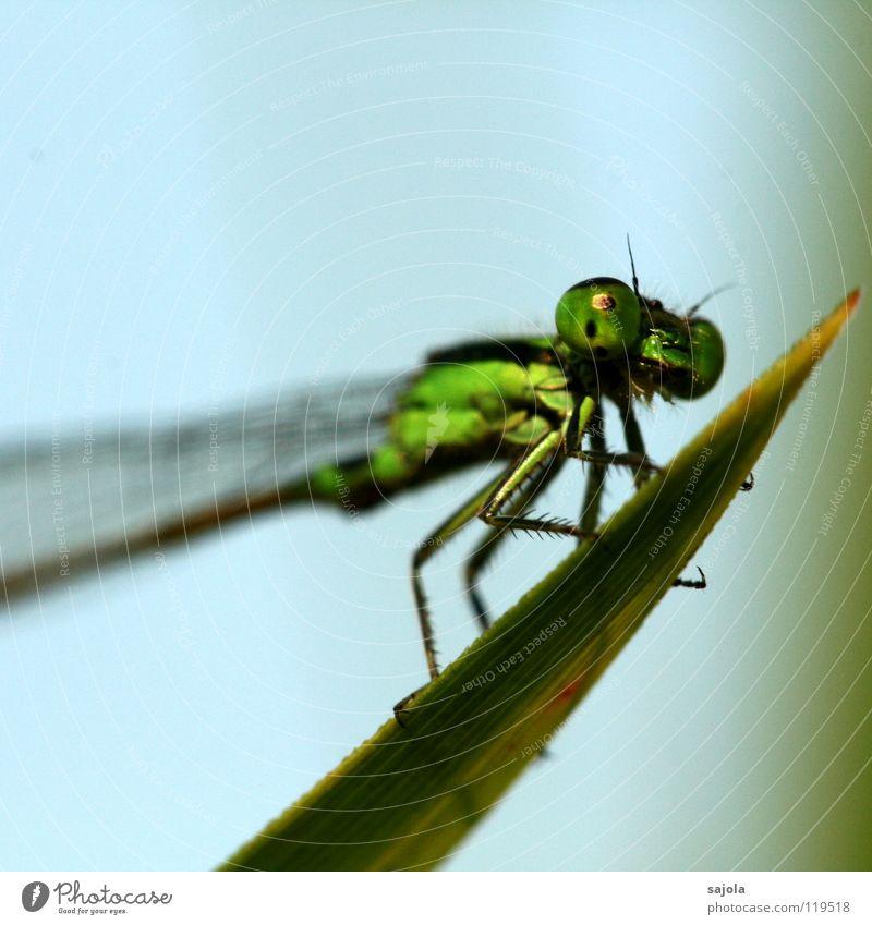 kleinlibelle II Tier Flügel 1 beobachten festhalten Blick warten dünn grün Klein Libelle Facettenauge Auge Beine Pechlibellen Asien Singapore Kopf Farbfoto