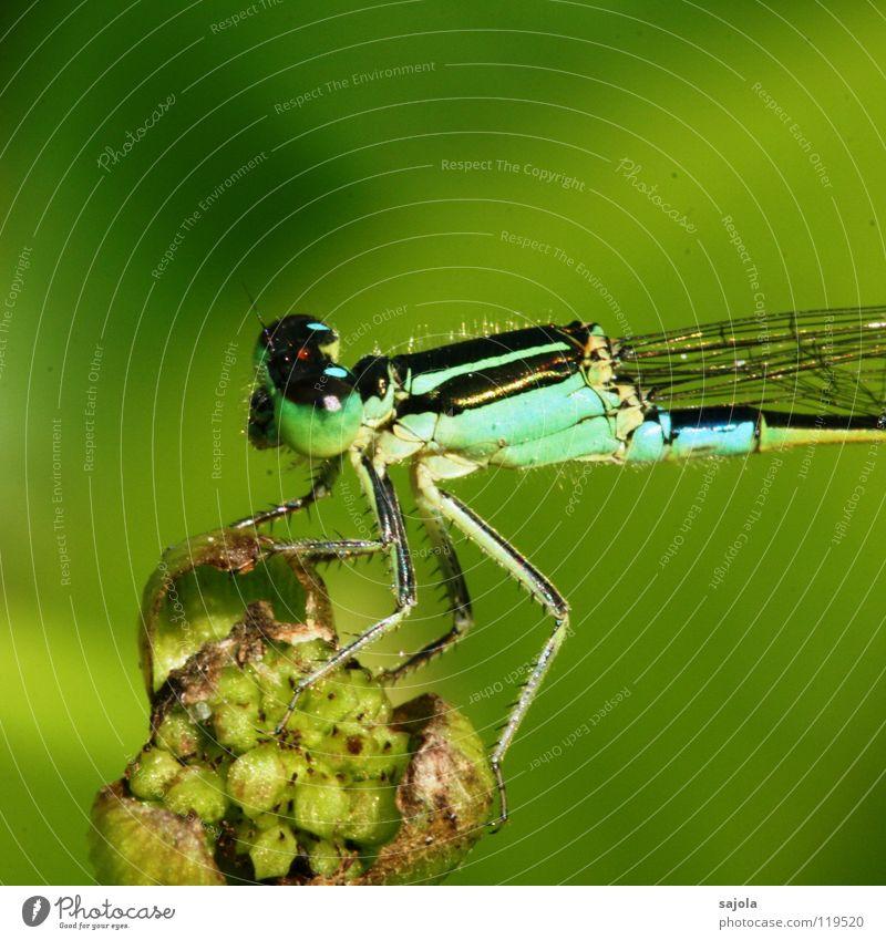 kleinlibelle III Tier Blüte Grünpflanze Tiergesicht Flügel 1 beobachten festhalten Blick warten dünn blau grün Klein Libelle türkis hell-blau Facettenauge Auge