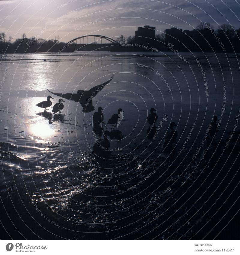 Geieralarm Alarm Winter füttern Reflexion & Spiegelung Gegenlicht Hochhaus Greifvogel Stimmung analog Fluss Bach Vogel Ente Wasser Bucht Eis sitzen Feder