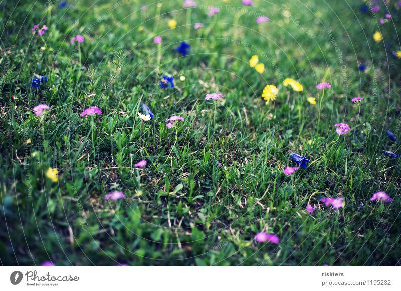 blumenwiese Natur Pflanze Blume Umwelt Frühling Wiese Gras frisch Fröhlichkeit Blühend saftig Enziangewächse