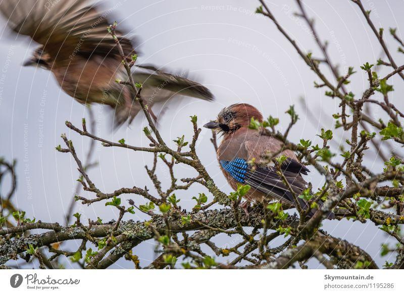 Eichenhäher Natur Pflanze Baum Landschaft Blatt Tier Wald Umwelt Wiese Garten fliegen Vogel Park Wetter Feld Wildtier