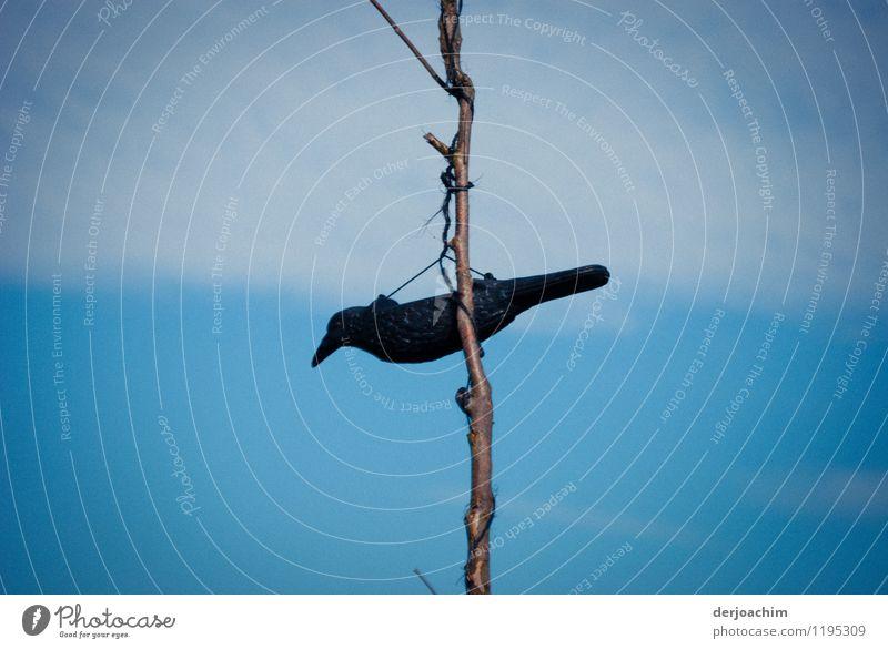 Nicht Flugtauglich schön Sommer ruhig Tier schwarz Umwelt außergewöhnlich Vogel Deutschland Design Feld authentisch genießen Ast beobachten Schönes Wetter