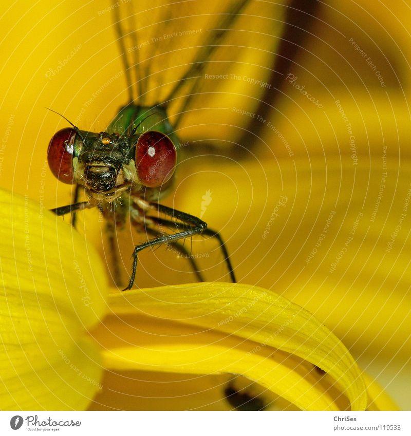 Märchenstunde Teil 3 : Weidenjungfer 04 Gemeine Binsenjungfer Libelle Insekt Tier gelb Sonnenblume grün frontal Blüte Aussehen Blick Hallo Vorhang Nordwalde