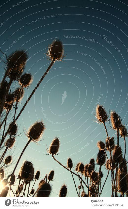 DISTELN Winter ruhig Stimmung Sehnsucht Tiefenschärfe Pflanze trocken Blume Distel Wachstum Silhouette Sträucher überwintern stechen gefährlich Himmel Leben