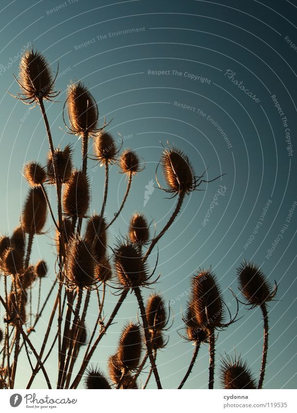 DISTELN I Winter ruhig Stimmung Sehnsucht Tiefenschärfe Pflanze trocken Blume Distel Wachstum Silhouette Sträucher überwintern stechen gefährlich Himmel Leben