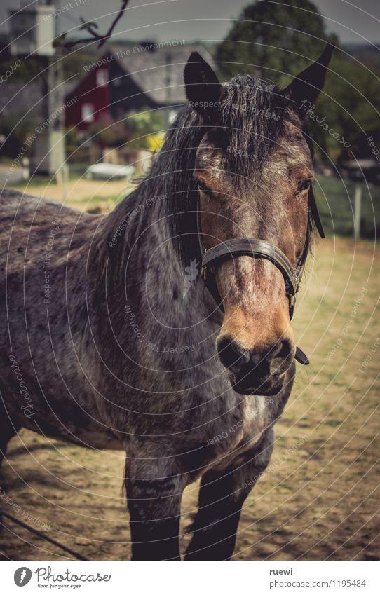 nie wieder | ohne Sattel (2) Sommer Tier gelb Sport braun Sand Freizeit & Hobby ästhetisch Abenteuer Pferd dünn Dorf Bauernhof Reiten