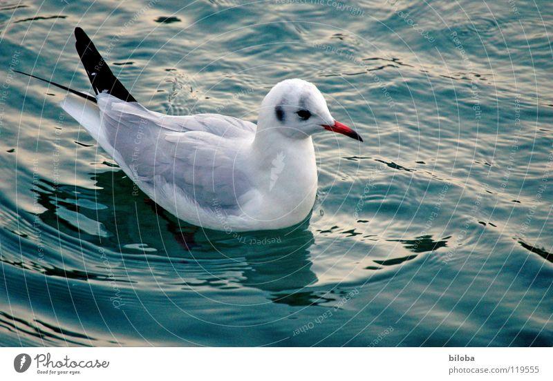 Seevogel Möwe weiß schwarz Meeresvogel Vogel Tier Federvieh Unendlichkeit schön stahlblau tief Außenaufnahme Möve Möven elegant fliegen frei Freiheit hoch Stolz