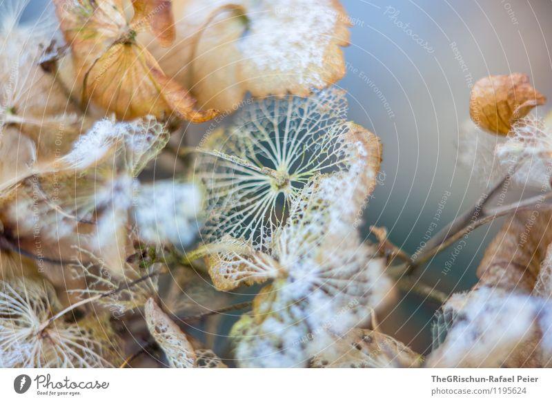 Winterblume Umwelt Natur Pflanze braun gold grün orange schwarz weiß aufwachen Frühlingsgefühle Schneefall Blatt Blüte zerfressen Tod Blühend bläulich