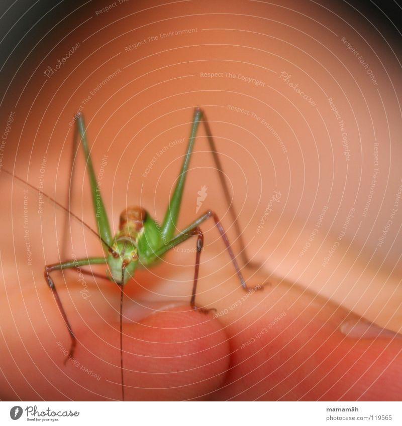 Die Neugier des Grashüpfers! Teil 2 Hand grün Sommer Wiese springen braun klein Finger Insekt beobachten Halm hüpfen Heuschrecke winzig