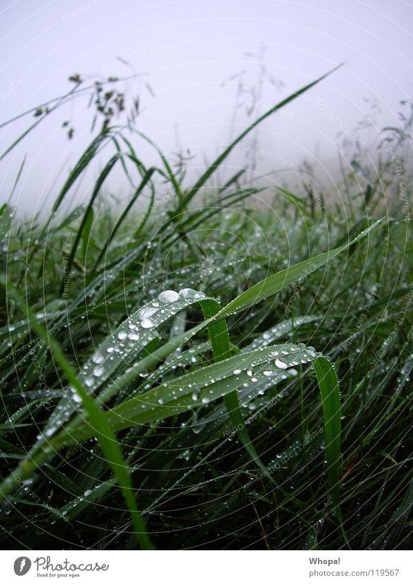 Im Frühtau zu Berge grün Sommer Wiese Gras grau Regen Nebel Tau