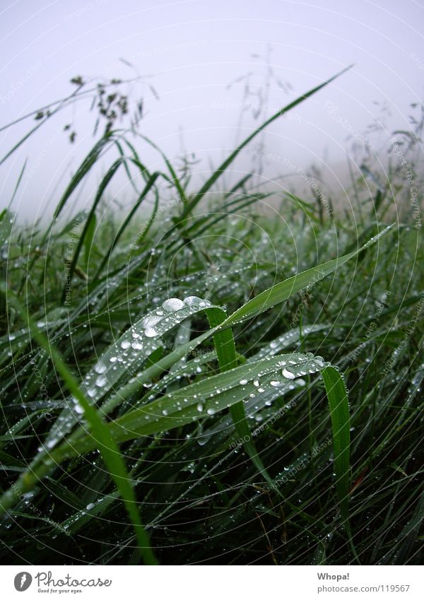 Im Frühtau zu Berge Wiese Gras Regen Tau Nebel grün grau Sommer