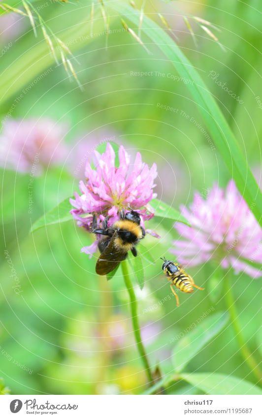 Hummelatacke ... Natur Wiese Tier Wildtier 2 kämpfen Aggression Schwebfliege Farbfoto Außenaufnahme Nahaufnahme Makroaufnahme Tag Sonnenlicht Tierporträt