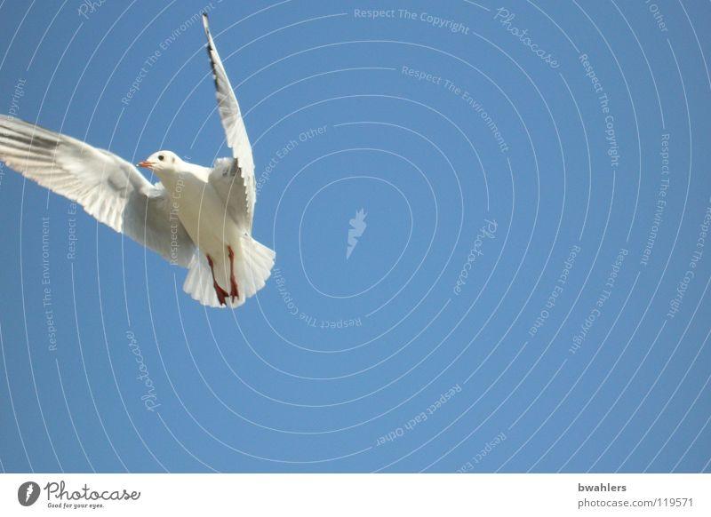 Möwe 3 Himmel weiß blau Sommer Freiheit Luft Vogel fliegen Flügel Bodensee
