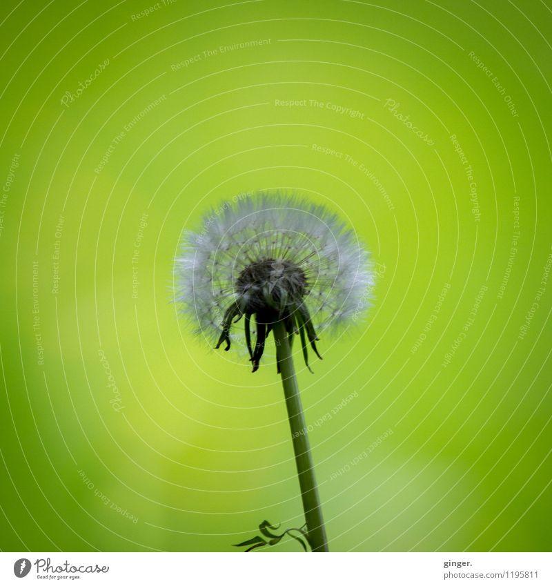 UT Köln | Stammheim | Puste.Blume. Natur Pflanze Gras Wildpflanze Wachstum verrückt grau grün Löwenzahn Samen diffus einzeln verblüht schön weich Blatt Stengel
