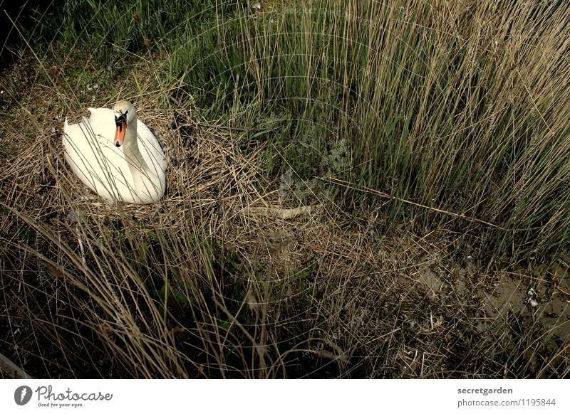 Was schwant mir, wenn mir etwas schwant? harmonisch Wohlgefühl Erholung ruhig Natur Frühling Sommer Gras Sträucher Küste Wildtier Schwan 1 Tier warten