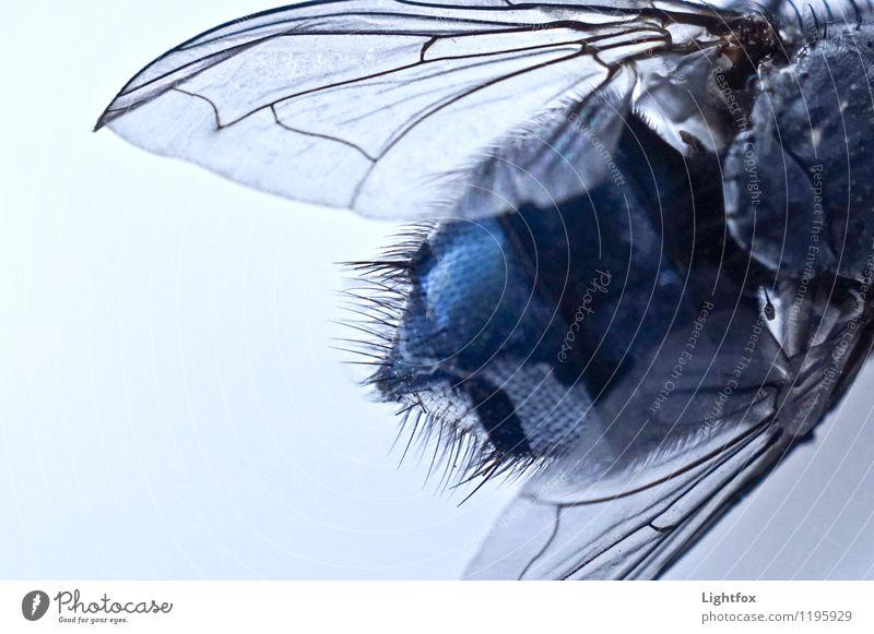 Brummer Tier Fliege Flügel 1 blau fliegen Schmarotzer Fressen Aaas Tragfläche Detailaufnahme Zoomeffekt Haare & Frisuren Borsten Struktur Farbfoto