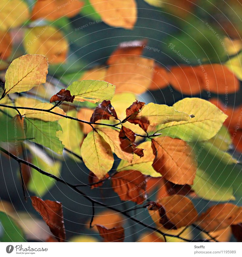 Herbstliche Umwandlung Natur Pflanze Blatt Buchenblatt Buchenwald Herbstlaub Wald Herbstwald mehrfarbig gelb grün orange Herbstgefühle Farbe Vergänglichkeit