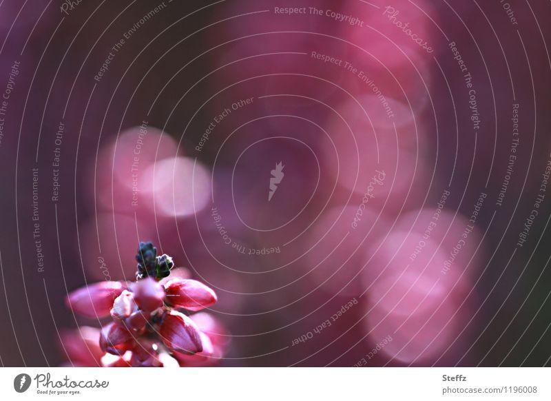 Heidestrauch im Spätsommer Zierheide poetisch malerisch nordisch heimisch nordische Romantik Altweibersommer romantische Blüte Zierpflanze Heidekraut