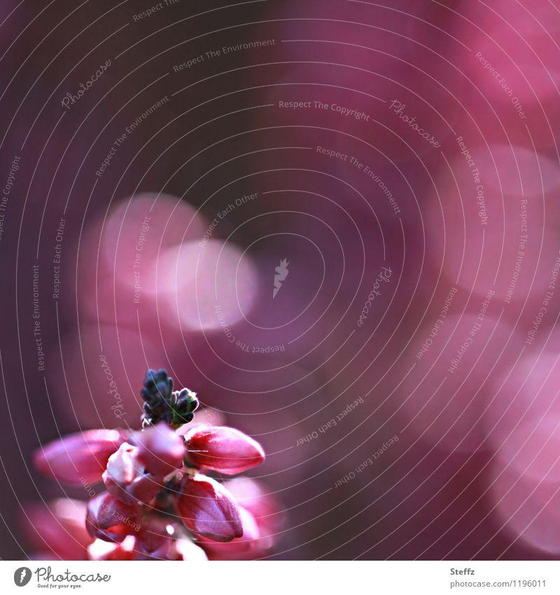 Impression Heide Natur Pflanze schön Sommer Stimmung rosa Blühend Romantik Lichtspiel Lichtpunkt Wildpflanze Lichteffekt Bergheide Lichtstimmung