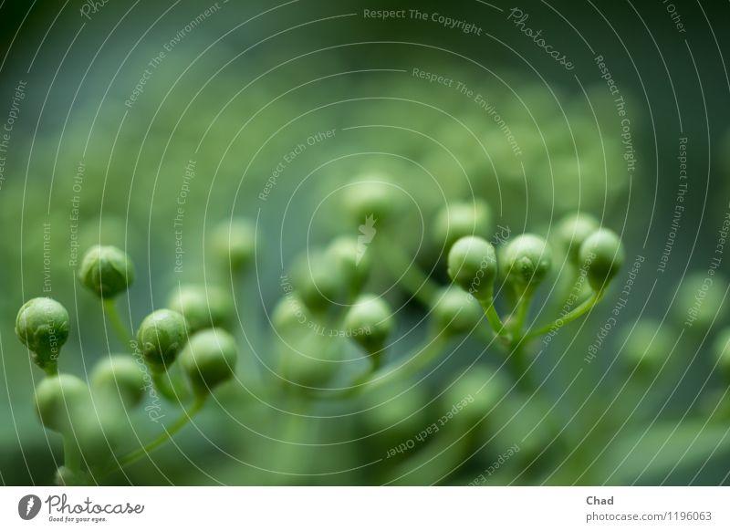 Holunder Knospe Natur Pflanze grün ruhig Umwelt Blüte Essen Gesundheit klein Lebensmittel Ernährung ästhetisch Sträucher einzigartig beobachten rund